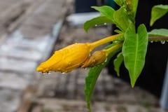 雨珠特写镜头与反射的在一朵金喇叭黄蔓花 库存照片