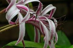 雨的艺术性的图象在百合花瓣下降 免版税图库摄影