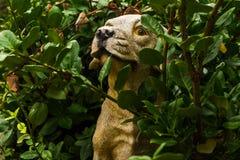 从雨的黄色拉布拉多皮的雕象在灌木中 免版税库存照片