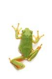 雨蛙雨蛙arborea,在白色背景 库存图片
