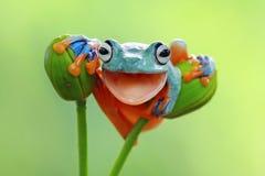 雨蛙,与开放嘴的飞行的青蛙特写镜头 免版税图库摄影