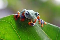 雨蛙,在准备好绿色的叶子的矮胖的青蛙跳跃 图库摄影