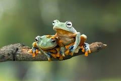 雨蛙,在分支的飞行的青蛙 免版税库存图片