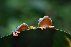 雨蛙,在叶子的飞行的青蛙 免版税库存图片