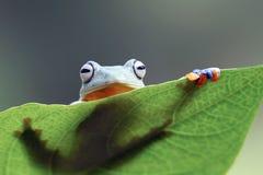 雨蛙,在gree叶子的飞行的青蛙 图库摄影