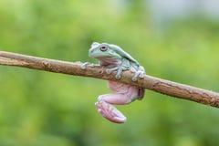 雨蛙,矮胖的青蛙,动物,宏指令, 免版税库存照片