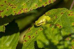 雨蛙,雨蛙arborea 库存照片