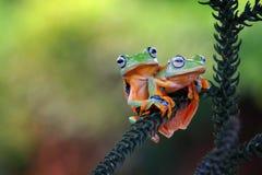 雨蛙,飞行的青蛙,在分支的青蛙 免版税库存照片