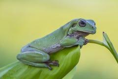 雨蛙麻烦了 库存照片