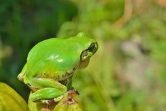 雨蛙(雨蛙) 13 图库摄影