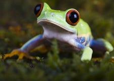 雨蛙 库存图片