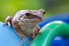 雨蛙 库存照片