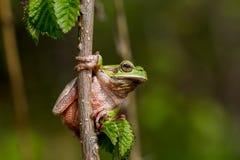雨蛙arborea -欧洲雨蛙 免版税库存照片