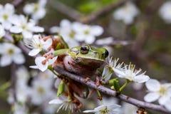 雨蛙arborea -欧洲雨蛙 免版税图库摄影
