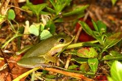 雨蛙squirella灰鼠treefrog 图库摄影