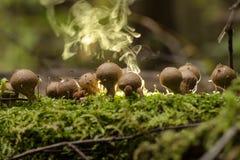 雨衣蘑菇马勃属perlatum 免版税图库摄影