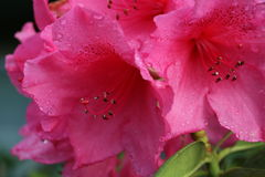 雨被透湿的桃红色杜娟花绽放 免版税库存图片