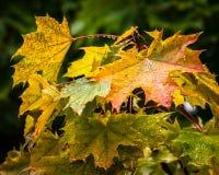 雨被透湿的秋叶 免版税库存图片