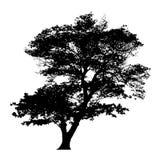 雨豆树剪影 免版税库存照片