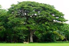 雨豆树在公园 免版税图库摄影