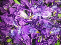 雨水滴在花的 免版税图库摄影