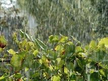 雨 葡萄 免版税库存图片
