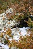 雪、青苔和越橘 在阿尔泰山的夏天,俄罗斯 图库摄影