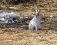 雪兔在春天 免版税库存图片
