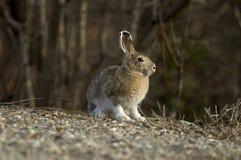 雪兔纵向 免版税图库摄影