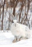 雪兔 免版税库存照片