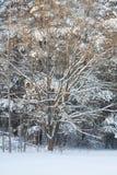 雪冬天结构树 免版税库存图片
