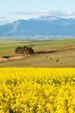 雪加盖了忽略黄色油菜领域的山脉 库存图片