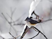 雪北美山雀 免版税库存照片
