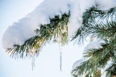 雪和冰柱在杉木枝杈 免版税库存照片