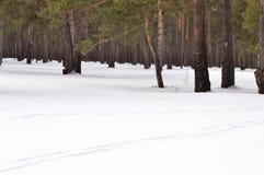 滑雪和杉木 免版税图库摄影