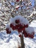 雪和红色莓果在树5 免版税库存照片
