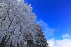 雪和蓝天盖的森林 免版税库存照片