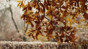 雪和雨在秋天公园 关闭结构树 下雪在森林沈默和自然 种植在雪的大农场主 影视素材
