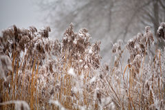 雪和霜在藤茎在一条冻河 阴暗多雪的天气 免版税库存图片