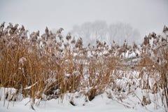 雪和霜在藤茎在一条冻河 阴暗多雪的天气 图库摄影