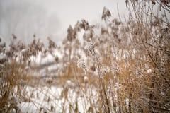 雪和霜在藤茎在一条冻河 阴暗多雪的天气 库存照片