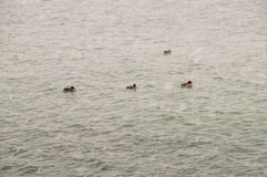 雪和鸭子在黑海在离波摩莱的附近海岸在保加利亚 免版税图库摄影