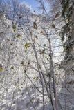 雪在争斗小山森林的被装载的树在苏格兰 库存照片