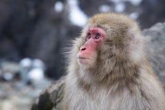 雪在外形的猴子面孔 库存图片