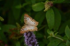 雪在植物保持平衡的孔雀铗蝶 免版税库存照片