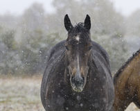 雪在马轻轻地落在亚伯大 图库摄影