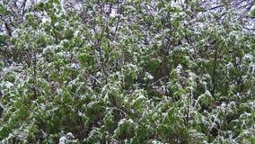 雪在4月是和在绿色树,北旋风的暴风雪打扫 股票视频