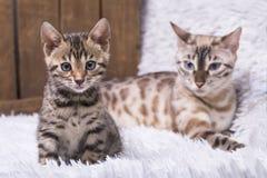 雪孟加拉有她的九个星期年纪小猫的猫母亲 免版税库存图片