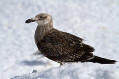 雪幼小多米尼加共和国的鸥在南极洲 库存照片