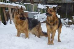 雪德国牧羊犬 库存图片